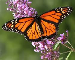 Dette bildet mangler alt-tekst; dets filnavn er sommerfugl.jpeg